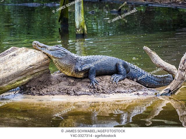 American Alligator (Alligator mississipiensis) in St. Augustine Alligator Farm Zoological Park in St Augustine Florida in the United States