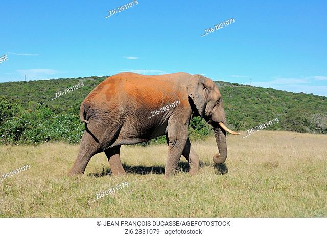 African bush elephant (Loxodonta africana), bull walking on grass, Addo Elephant National Park, Eastern Cape, South Africa, Africa