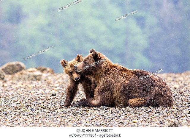 Grizzly bear sow and cub, Khutzeymateen Grizzly Bear Sanctuary in British Columbia, Canada
