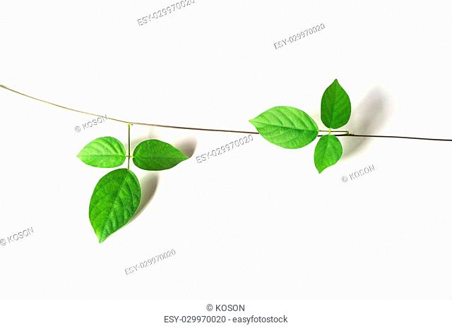 green vine plant close up on white background