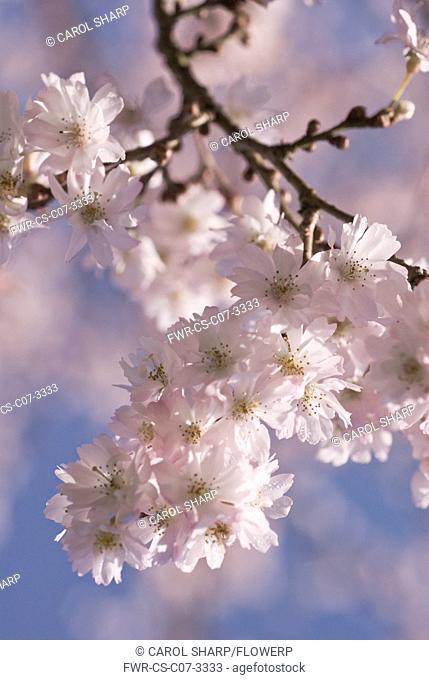 Prunus subhirtella 'Autumnalis', Cherry, Autumn flowering cherry