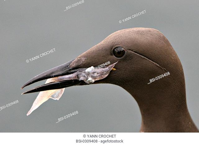 Common murre Common murre Uria aalge with a cuttlefish in the beak, Shetland Islands, Scotland. Uria aalge  Common murre  Guillemot  Alcid  Seabird  Bird
