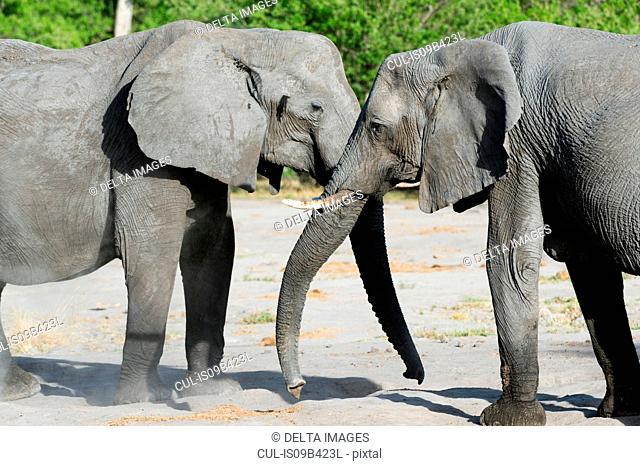 Two elephants (Loxodonta africana) bonding, Khwai concession, Okavango delta, Botswana