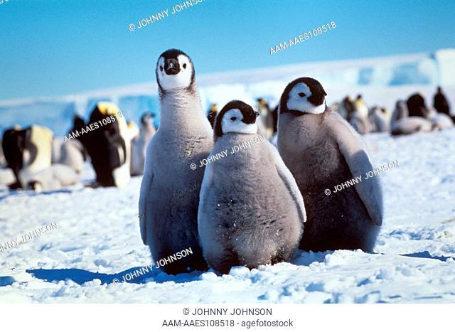 Three Emperor Penguin Chicks (Aptenodytes forsteri), Atka Bay, Weddell Sea, Antarctica