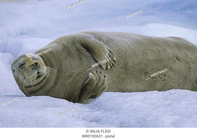 Bearded Seal Erignathus Barbatus resting on sea ice North Spitsbergen, Svalbard