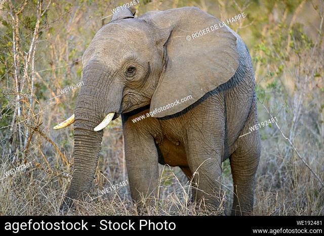 African bush elephant (Loxodonta africana) jevenile. Kruger National Park. Mpumalanga. South Africa