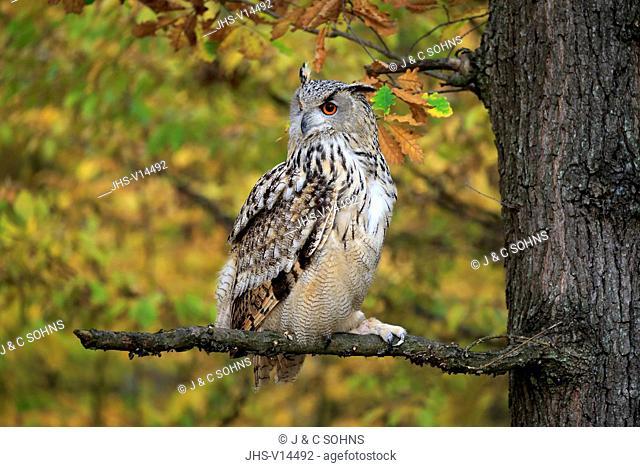 Western Siberian Eagle Owl, (Bubo bubo sibiricus), adult alert on branch, Rimavska Sobota, Slovak Republic, Europe