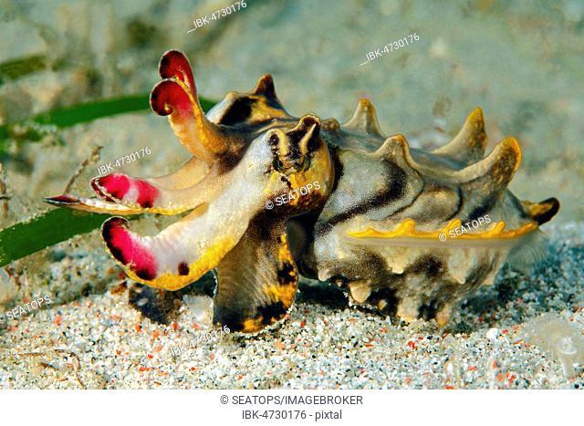 Flamboyant cuttlefish (Metasepia pfefferi), Sabang Beach, Mindoro, Philippines
