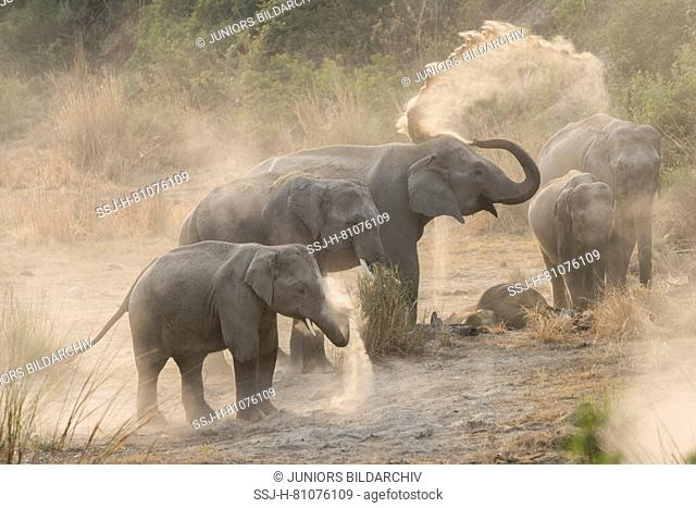 Asian Elephant (Elephas maximus). Family dust bathing. Jim Corbett National Park, India