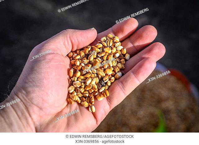 Hand holding up Kolo or roasted barley, Debre Berhan, Ethiopia