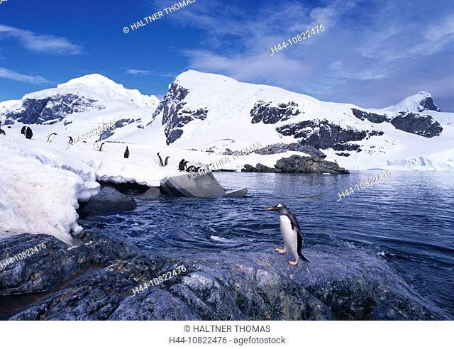 donkey penguins, Pygoscelis Papua, penguin, penguins, Adelie penguins, Antarctic, Antarctic, Antarctic Ocean, cruise