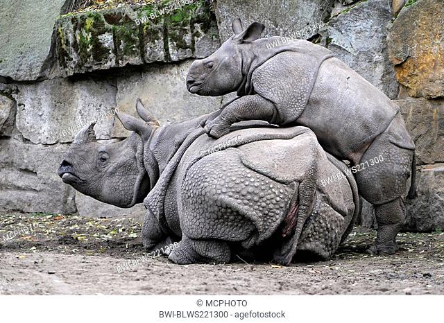 greater Indian rhinoceros, great Indian One-horned rhinoceros Rhinoceros unicornis, young rhinoceros playing on the back of its' mother