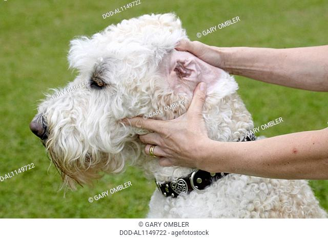 Labradoodle: owner checking ears