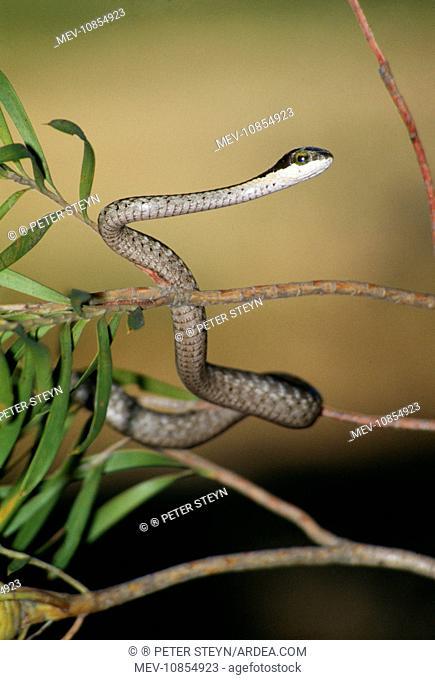 Boomslang Snake (Dispholidus typus). Juvenile