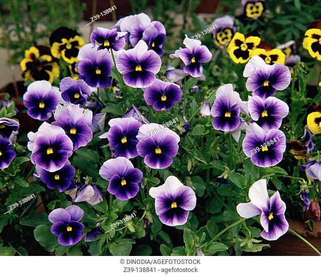 Pansies (Viola hortensis)