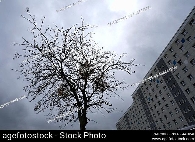 03 August 2020, Berlin: A dried-up street tree with also dried-up mistletoe stands in a new development area in Lichtenberg