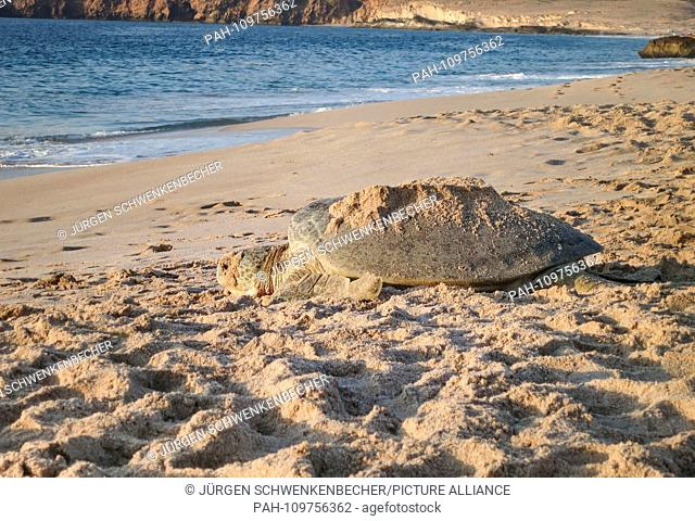 A Green Sea Turtle (Chelonia mydas) is striving at dawn to lay its eggs on a protected stretch of beach near Ras al-Jinz (Oman) towards the sea