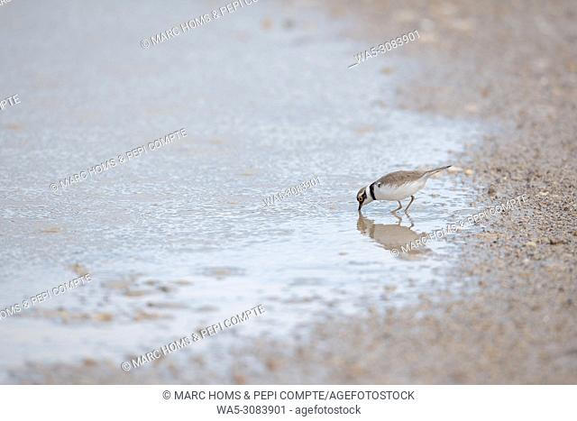 A Little ringed plover drink water in Garrotxa, Catalonia, Spain