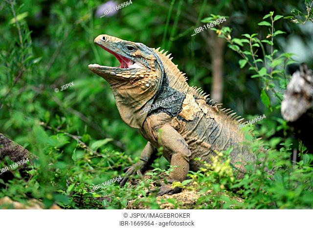 Blue Iguana or Grand Cayman Iguana (Cyclura lewisi), yawning