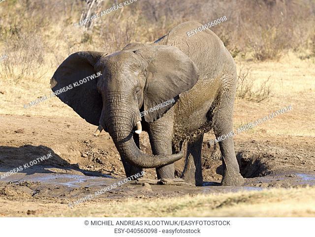 African elephant (loxodonta africana) at a waterhole, Namibia