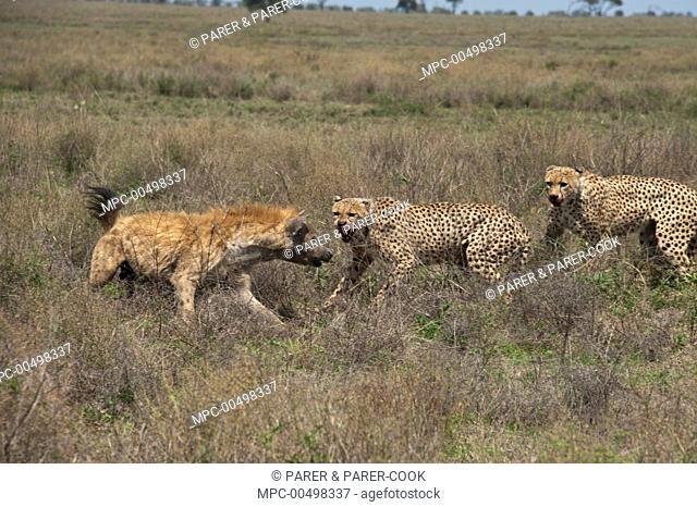 Cheetah (Acinonyx jubatus) males facing off with Spotted Hyena (Crocuta crocuta) to protect their kill, Ngorongoro Conservation Area, Tanzania