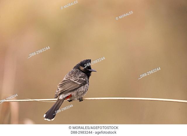India, State of Assam, Kaziranga National Park, . Red-vented bulbul (Pycnonotus cafer)