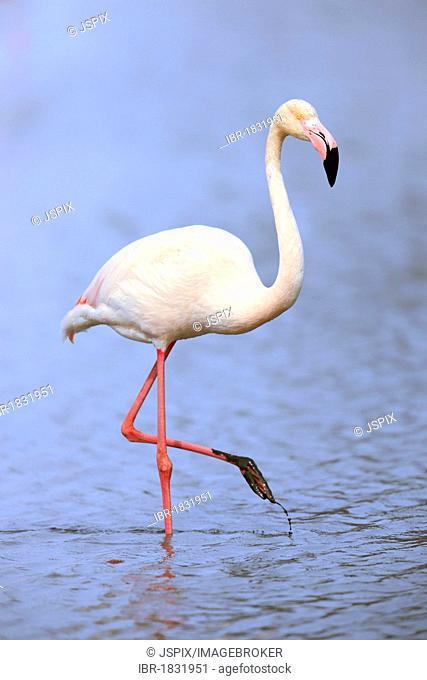 Greater Flamingo (Phoenicopterus ruber roseus), in water, Saintes-Maries-de-la-Mer, Camargue, France, Europe