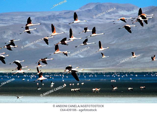Chilean flamingos (Phoenicopterus chilensis) in flight. Salinas de Aguada blanca Reserve. Peruvian altiplano. Peru