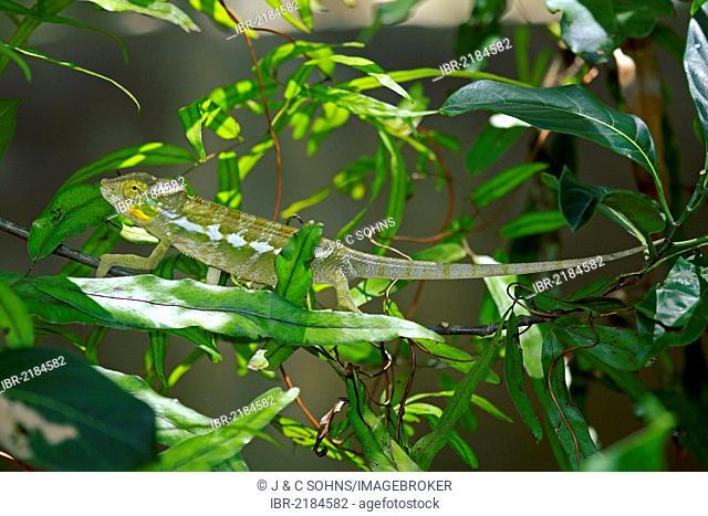 Panther Chameleon (Furcifer pardalis), juvenile, foraging, Madagascar, Africa