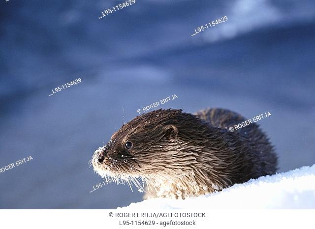 Eurasian Otter Lutra lutra young individual playing and fish feeding over frozen surface of the river in Kajaani, Finland, in winter at minus 37C
