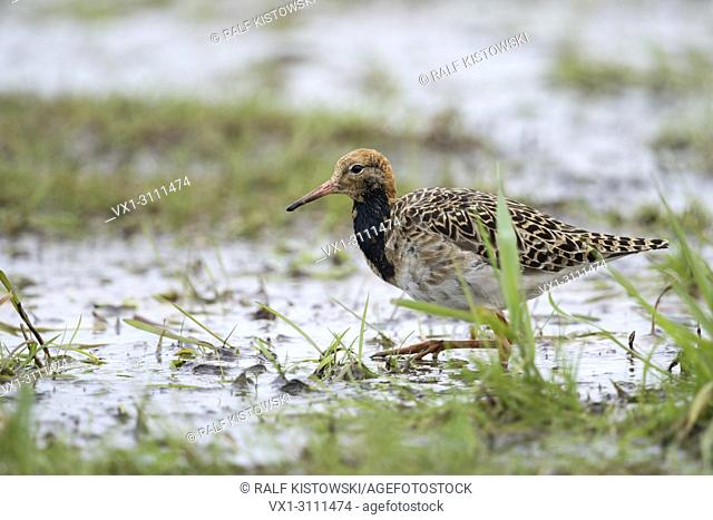 Ruff / Kampflaeufer ( Philomachus pugnax ), resting on flooded grassland during spring migration, searching for food, wildlife, Europe