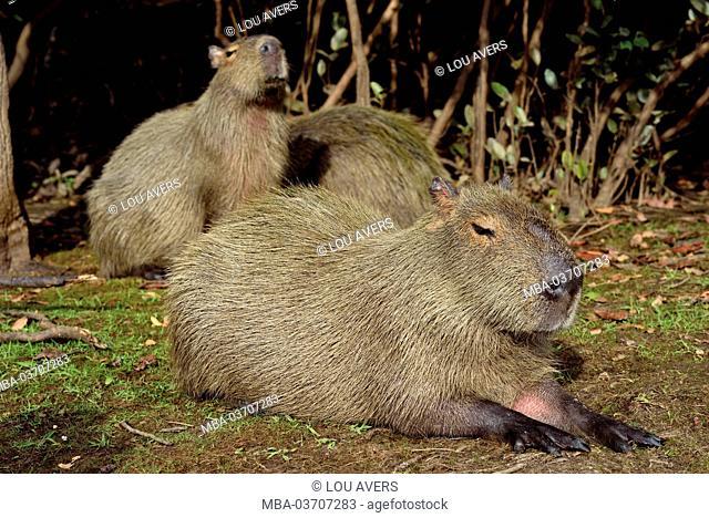 Brazil, Pantanal, water pig's family, Hydrochoerus hydrochaeris, in the bank border