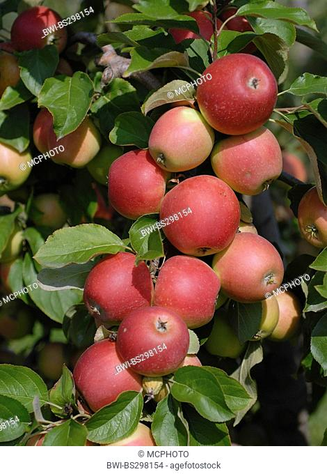 apple tree (Malus domestica 'Dublet', Malus domestica Dublet), cultivar Dublet, apples on a tree