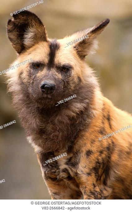 African Wild Dog (Lycaon pictus), Oregon Zoo, Washington Park, Portland, Oregon