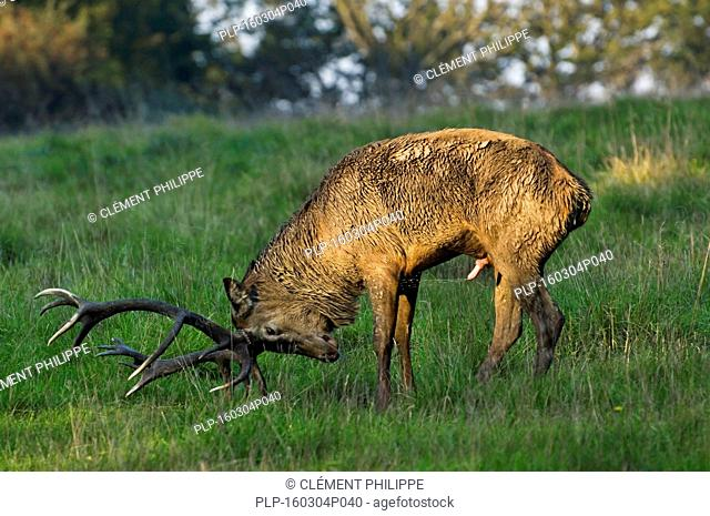 Red deer (Cervus elaphus) stag spraying urine onto his belly and forequarters during the rut in autumn