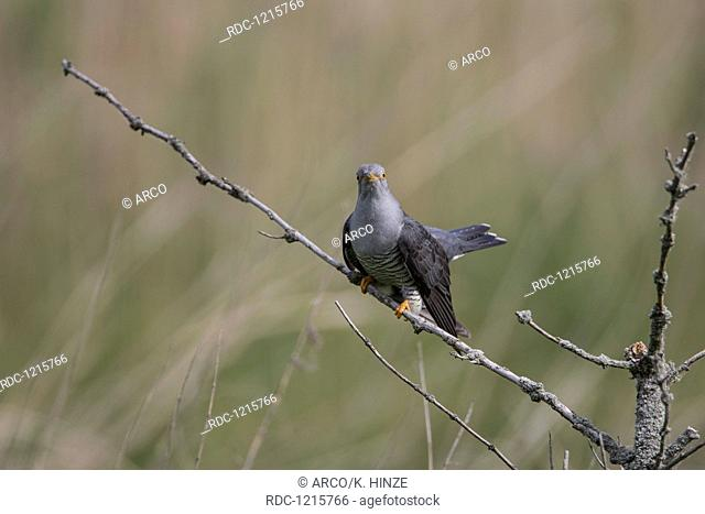 Common Cuckoo, Lower Saxony, Germany, (Cuculus canorus)