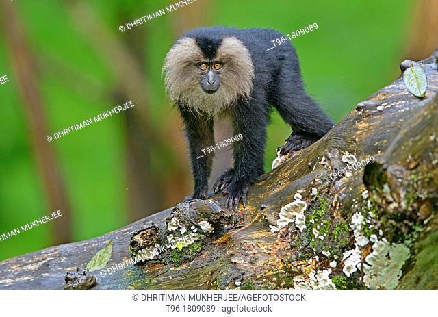 Macaca silenus , Lion-tailed Macaque