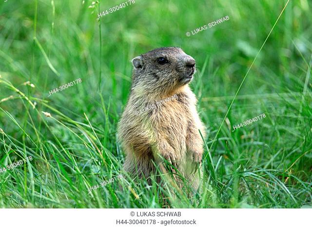 Marmota marmota, Mammal, Animal, Nature, Switzerland, Alpine marmot, Marmot