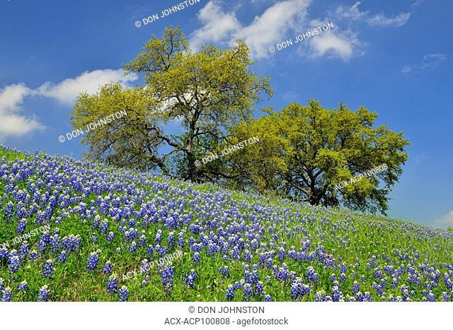 Roadside bluebonnets and oak trees, Travis County near Marble Falls, Texas, USA