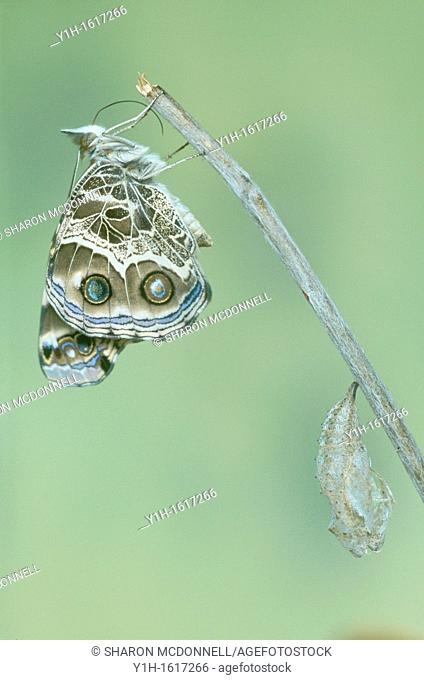American Painted Lady butterfly (Vanessa virginiensis) recovers and waits near chrysalis