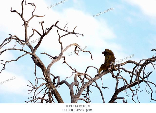 Chacma baboon (Papio ursinus) sitting in bare tree, Savuti marsh, Chobe National Park, Botswana