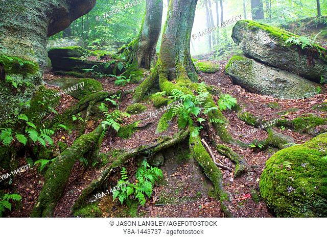 A tree growing from a moss-covered ledge at Nelson's Ledges State Park, Newbury, Ohio, USA