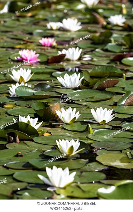 Seerosen (Nymphaea) im Teich