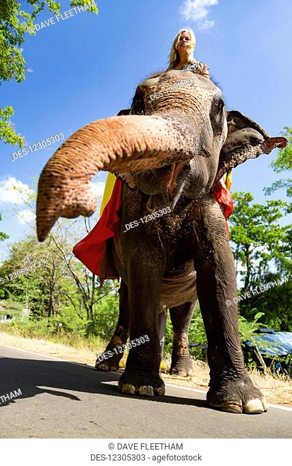 A woman riding a Sri Lankan elephant (Elephas maximus maximus) on a road near Sigiriya, an ancient palace located in the central Matale District near the town...