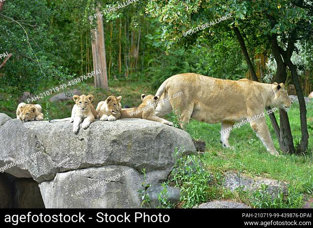 05 July 2021, Saxony, Leipzig: The four lion cubs Jasira, Juma, Kossi and Kiyan of mother lion Kigali (right) and male lion Majo sit in the outdoor area at...