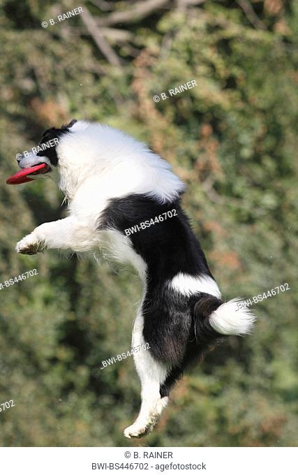 Australian Shepherd (Canis lupus f. familiaris), six years old male dog cutting a caper with a frisbee disk, side view, Germany