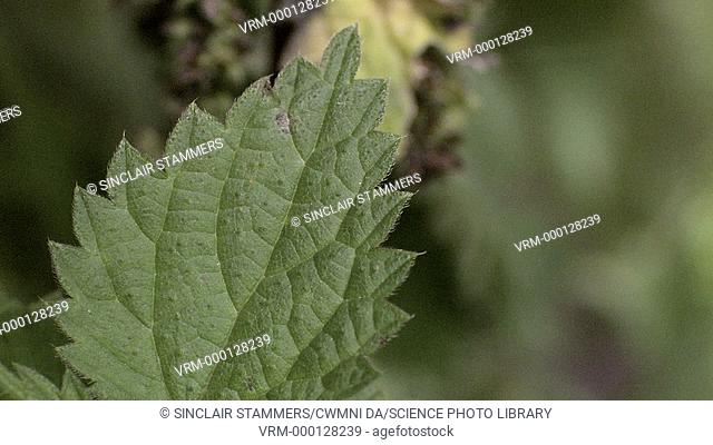 Stinging nettle (Urtica doica) leaf. The stinging nettle is a herbaceous perennial flowering plant. It has hollow stinging hairs