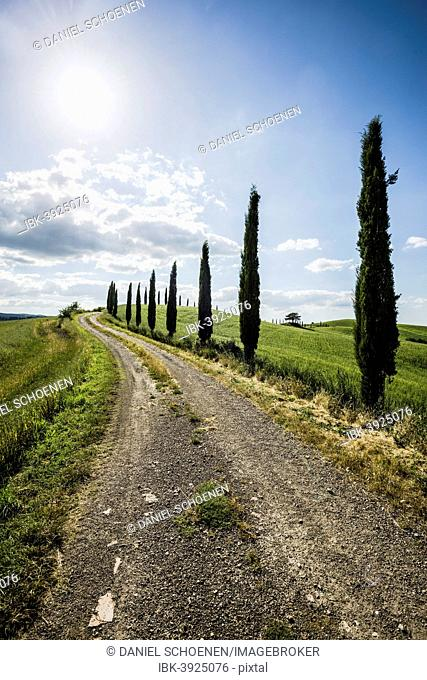Mediterranean Cypresses (Cupressus sempervirens) and a dirt track, Val d'Orcia, near Buonconvento, Province of Siena, Tuscany, Italy