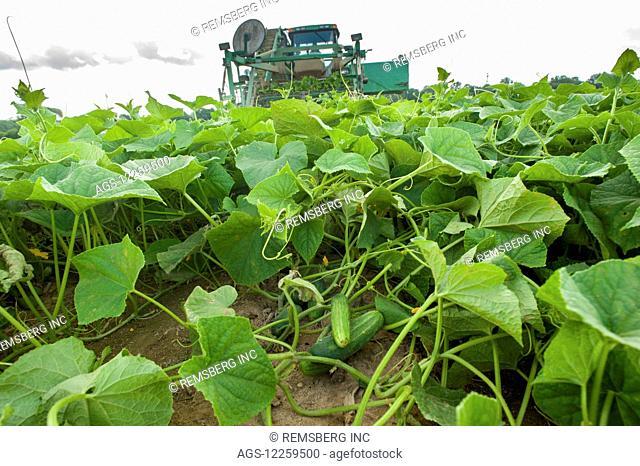 Cucumber harvest; Preston, Maryland, United States of America
