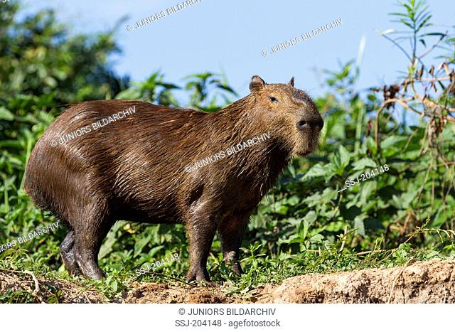 Capybara (Hydrochoerus hydrochaeris). Adult on a riverbank. Pantanal, Brazil